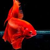 Peixes de Betta, peixes de combate, peixes de combate Siamese Imagem de Stock Royalty Free
