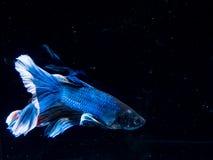 Peixes de Betta, peixes de combate, peixes de combate Siamese Foto de Stock Royalty Free