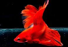 Peixes de Betta, peixes de combate, peixes de combate Siamese Fotografia de Stock