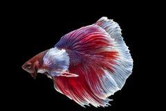 Peixes de Betta, peixes de combate siamese, splendens do betta Fotos de Stock Royalty Free