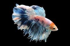 Peixes de Betta, peixes de combate siamese, splendens do betta isolados no fundo preto, peixe no fundo preto, luta dos peixes, mu imagem de stock royalty free
