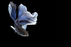 Peixes de Betta (meia lua) ou peixes de combate Siamese Imagens de Stock