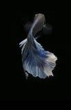 Peixes de Betta (meia lua) ou peixes de combate Siamese Fotografia de Stock