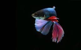 Peixes de Betta (meia lua) ou peixes de combate Siamese Imagem de Stock Royalty Free