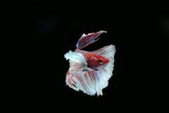 Peixes de Betta (meia lua) ou peixes de combate Siamese Foto de Stock Royalty Free