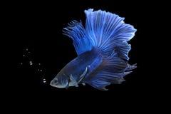 Peixes de Betta (meia lua) ou peixes de combate Siamese Imagem de Stock