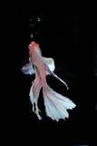 Peixes de Betta (meia lua) ou peixes de combate Siamese Fotos de Stock Royalty Free