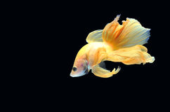 Peixes de Betta (meia lua) ou peixes de combate Siamese no backgro preto Fotografia de Stock Royalty Free