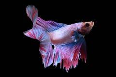Peixes de Betta na ação da liberdade Fotografia de Stock