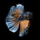Peixes de Betta no fundo preto Imagens de Stock