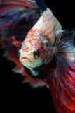 Peixes de Betta no fundo preto isolado Imagens de Stock Royalty Free