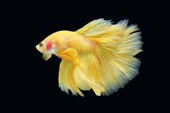 Peixes de Betta ou peixes de combate Siamese no backgro preto Imagem de Stock Royalty Free