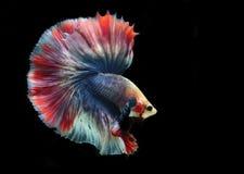 Peixes de Betta ou peixes de combate Siamese no fundo preto Fotos de Stock