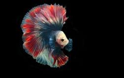Peixes de Betta ou peixes de combate Siamese no fundo preto Imagens de Stock Royalty Free