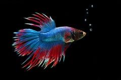 Peixes de Betta ou peixes de combate Siamese no fundo preto Fotografia de Stock