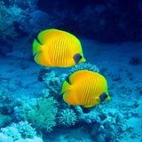Peixes de borboleta Imagens de Stock