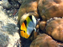 Peixes de borboleta imagem de stock
