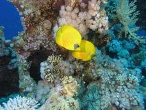 Peixes de borboleta foto de stock