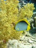 Peixes de borboleta com coral macio dos bróculos imagem de stock royalty free