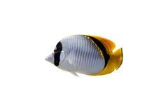 Peixes de borboleta isolados Fotos de Stock Royalty Free