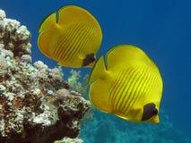 Peixes de borboleta mascarados Foto de Stock