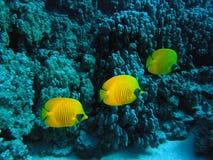 Peixes de borboleta mascarados fotos de stock