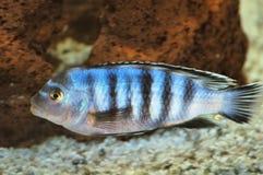 Peixes de Cichlid subaquáticos Foto de Stock Royalty Free