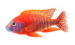 Peixes de cichlid vermelhos, peixes vermelhos do pavão do rubi Fotografia de Stock