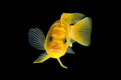 Peixes de cichlidae Imagens de Stock