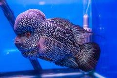 Peixes de cichlidae de Flowerhorn imagens de stock