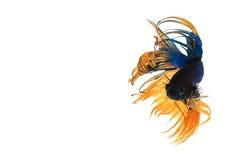 Peixes de combate fotografia de stock