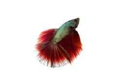 Peixes de combate Foto de Stock