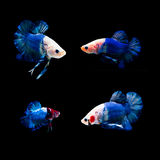Peixes de combate Imagens de Stock
