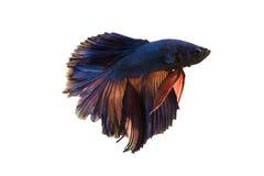 Peixes de combate imagem de stock