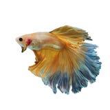 Peixes de combate amarelos Siamese isolados no branco Fotos de Stock Royalty Free