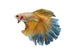 Peixes de combate amarelos Siamese isolados no branco Fotografia de Stock