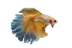 Peixes de combate amarelos Siamese isolados no branco Foto de Stock