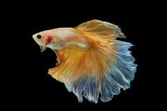 Peixes de combate amarelos Siamese isolados no preto Imagem de Stock