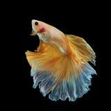 Peixes de combate amarelos Siamese isolados no preto Fotografia de Stock