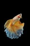 Peixes de combate amarelos Siamese isolados no preto Imagens de Stock Royalty Free