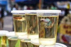 Peixes de combate de Betta na exposição fotografia de stock royalty free