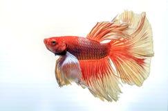 Peixes de combate, peixes bonitos, cor bonita Peixes Siamese da luta fotografia de stock