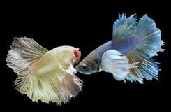 Peixes de combate de Betta ou de Saimese Fotografia de Stock Royalty Free