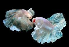 Peixes de combate de Betta ou de Saimese Fotografia de Stock