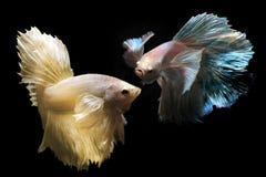 Peixes de combate de Betta ou de Saimese Foto de Stock Royalty Free