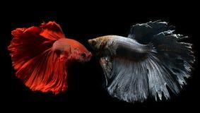 Peixes de combate de Betta ou de Saimese Imagem de Stock