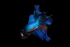 Peixes de combate de Sião imagens de stock