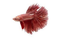 Peixes de combate de Sião imagem de stock royalty free