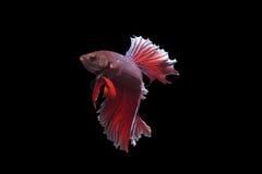 Peixes de combate de Sião imagens de stock royalty free