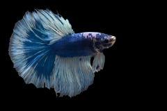 Peixes de combate de Sião fotografia de stock royalty free